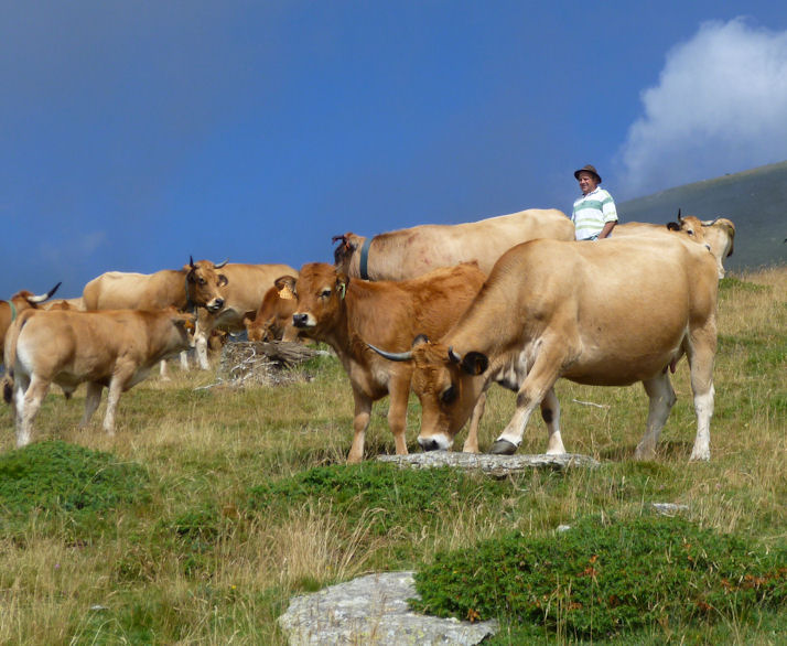 Transhumance vaches de la Costa de Dalt